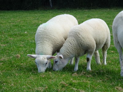 Optimising flock health and performance will be the key themes of the two upcoming sheep farm walks being organised by AgriSearch, AFBI and CAFRE.